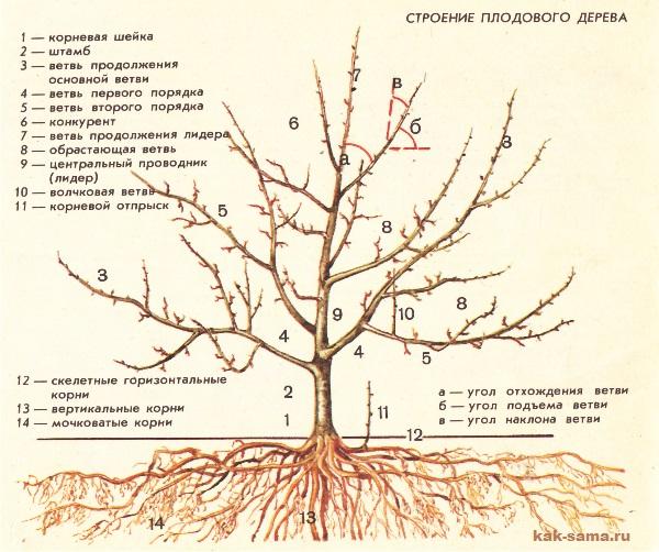плодовое дерево, картинка, строение плодового дерева